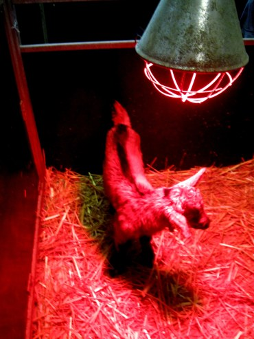 1-day-old baby underneath a heat lamp